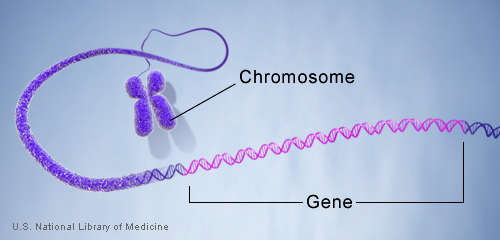 Genes are made up of DNA. Each chromosome contains many genes.